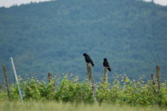 Krähenpaar im Wein